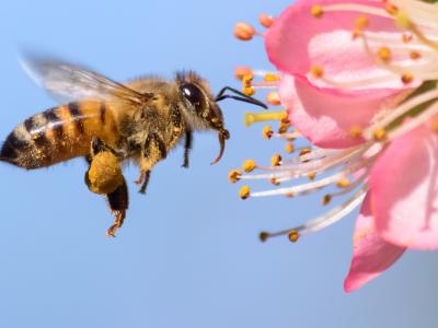 آیا نیش زنبور، واقعا حریف کرونا میشود؟