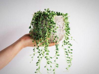 همه چیز درباره گیاه ساکولنت غورهای